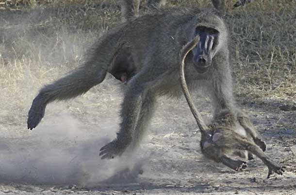 Baboon adult chasing youngster, Hwange National Park, Zimbabwe