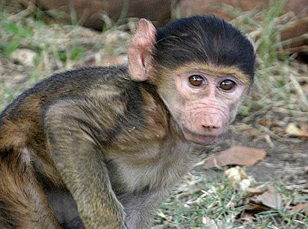 Close-up photo of baby baboon