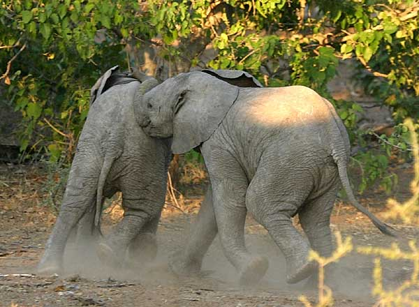 Baby Elephants at play