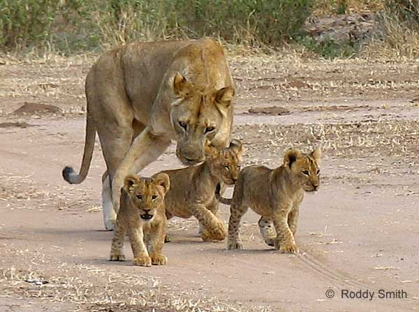 Picture of baby lions