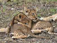 baby lion siblings showing their affection