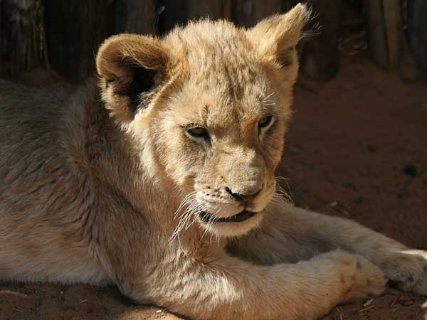 Baby lion cub relaxing, Sondela Wildlife Centre, South Africa