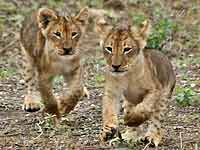 Baby lion cubs ready to romp
