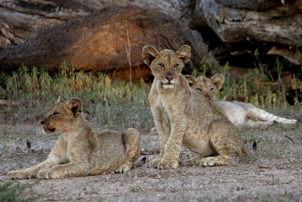Trio of lion cubs together, Mashatu Game Reserve, Botswana