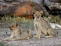 Trio of lion cubs relaxing