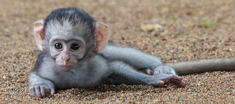 Baby vervet monkey lying on ground, Kruger National Park, South Africa