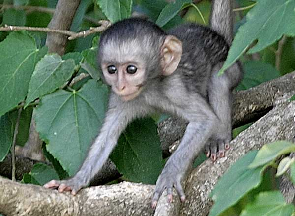 Baby monkey in tree
