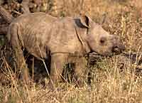 Picture of baby white rhino