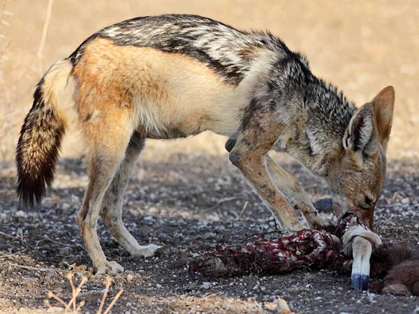 black-backed jackal chewing on bone