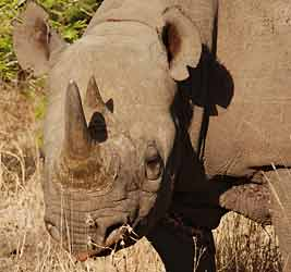 black rhino showing hooked lip