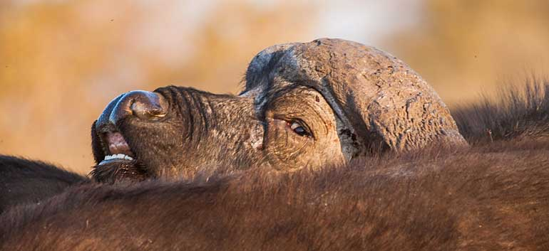Old buffalo bull peers over others in the herd, Kruger National Park