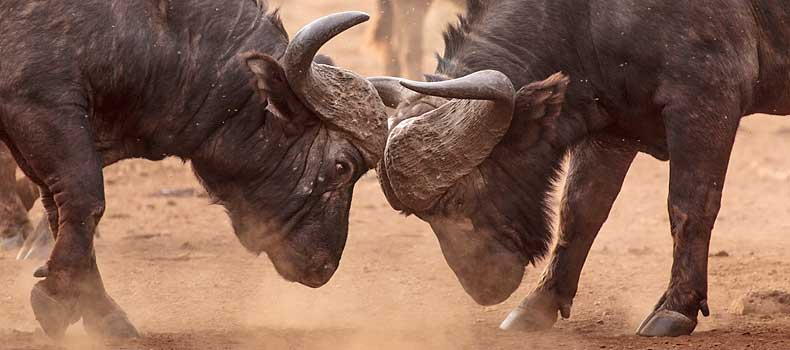 Buffalo bulls locking horns, Kruger National Park, South Africa