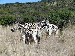 Picture of zebra without tele lens