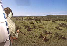 Darting rhino from helicopter