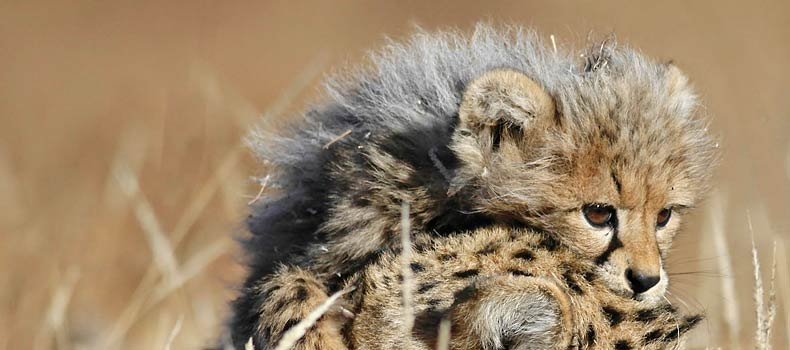 Baby cheetah cub clambering on mother's head, Mashatu Game Reserve, Botswana