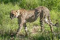 Cheetah walking, Sabi Sand Game Reserve