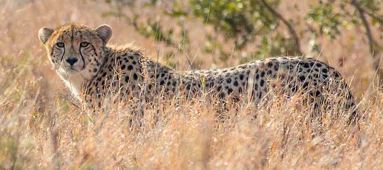 Cheetah in winter grass, Kruger National Park, South Africa