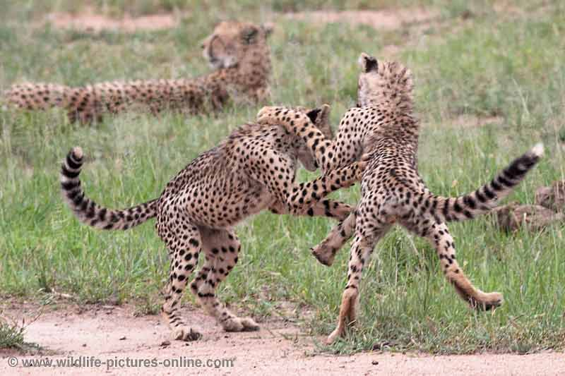 Young cheetas learn attack skills
