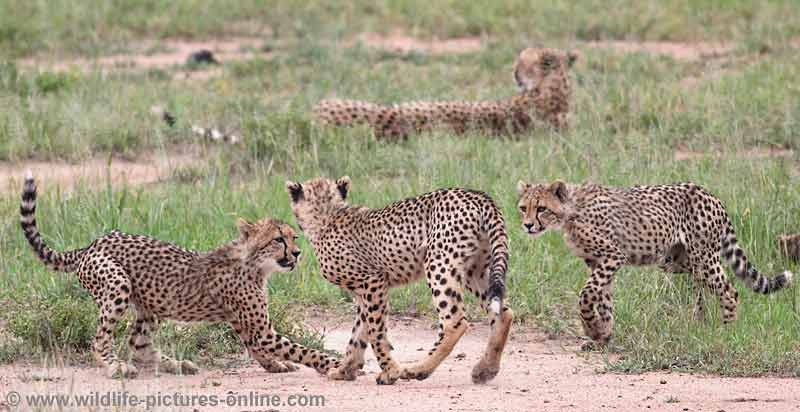 Trio of cheetah cubs ready to play fight
