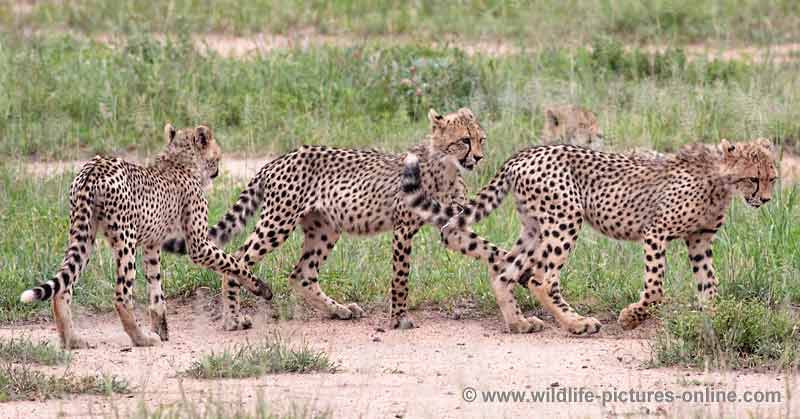 Cheetah cubs learning hunting techniques