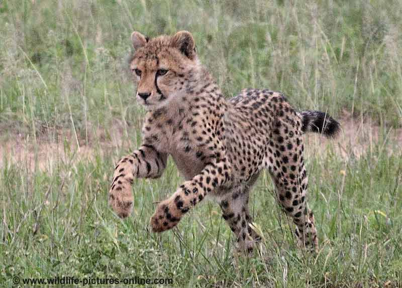 Cheetah cub practicing the pounce