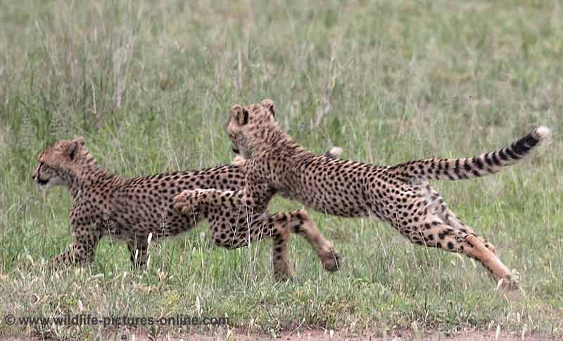 Cheeta cubs chasing each other