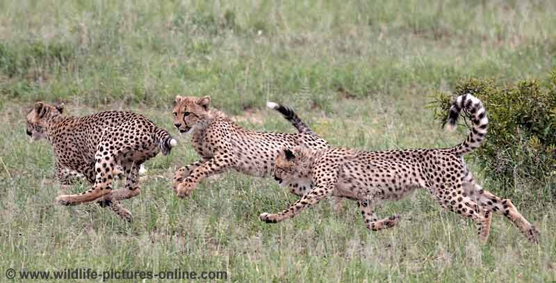 Young  cheetah honing hunting techniques