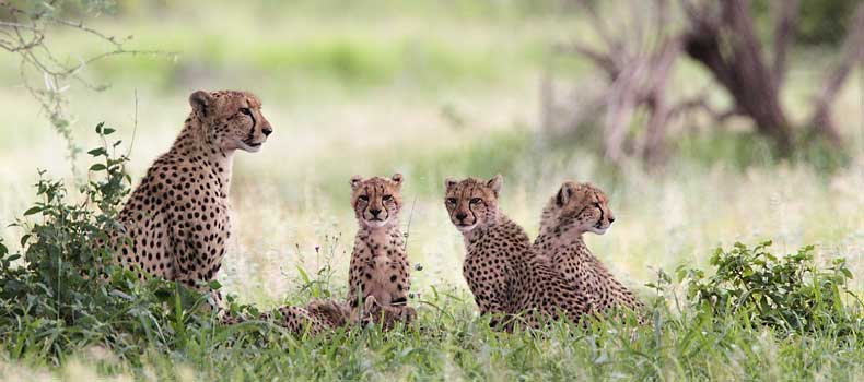 Cheetah mother with cubs, Kruger National Park, South Africa
