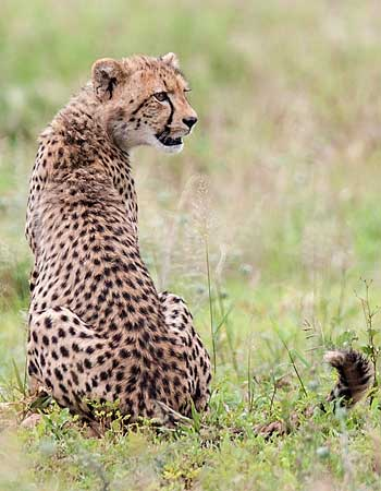Young cheetah on alert, Kruger National Park