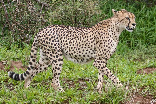 Cheetah heading off in search of prey