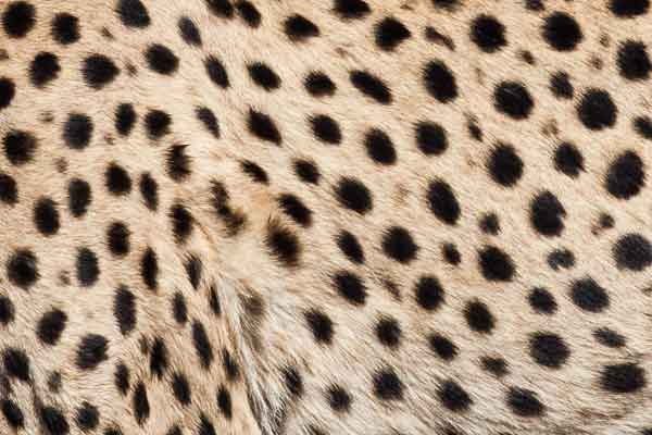 Cheetah fur and spots, close-up