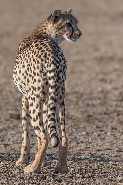 Cheetah looking back over its shoulder