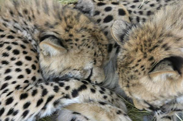 cheetahs at play