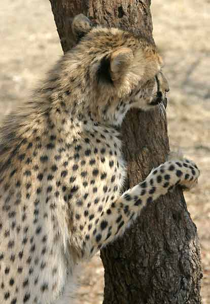 Cheetah standing upright against tree