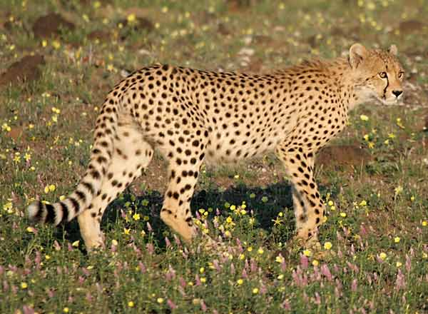 Cheetah walking through flowers, side-view