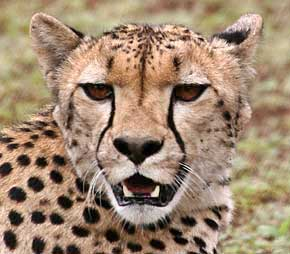 Cheetah head shot showing tear marking