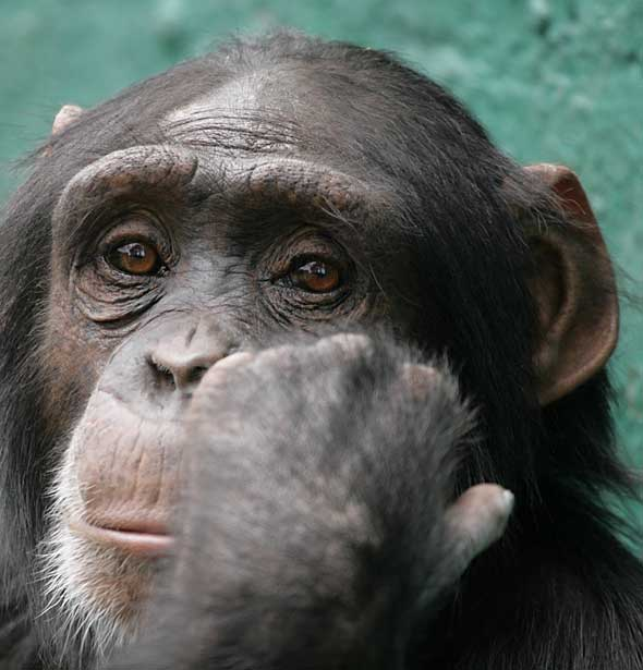 Captive chimpanzee, close-up