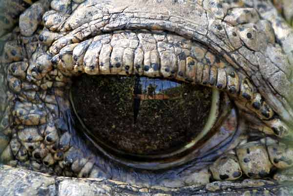 Nile crocodile (Crocodylus niloticus) eye, extreme close up