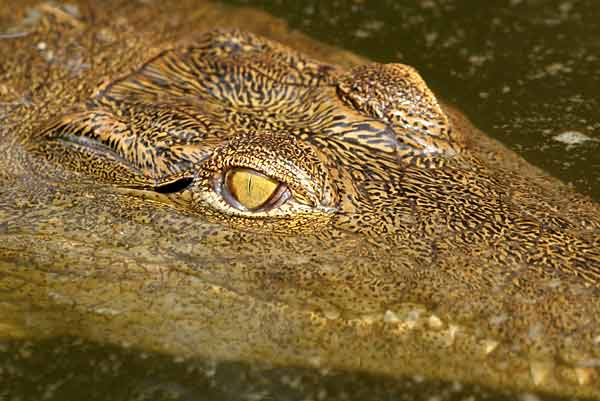 Close up of young Nile crocodile (Crocodylus niloticus)