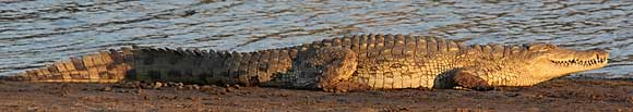 Nile crocodile (Crocdylus niloticus) lying in the sun