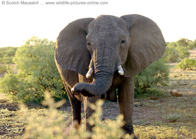 Elephant photos online attention grabbing images of africa 39 s largest land mammal - Image elephant ...