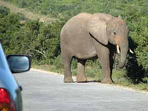 Elephant in road, Addo Elephant park