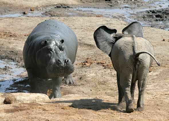 Young elephant confronts hippo