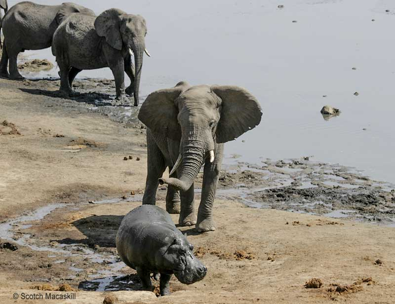 Hippo moves to its left as elephant approaches