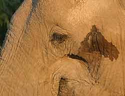 Elephant secretion from temporal gland