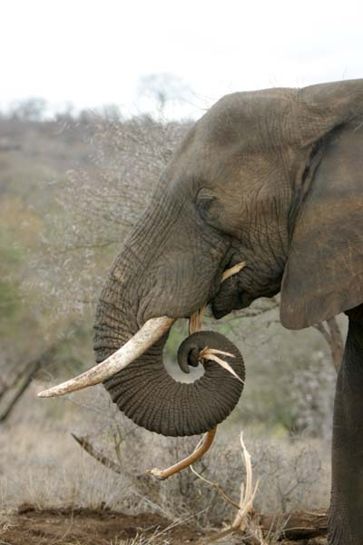 elephant stripping branches