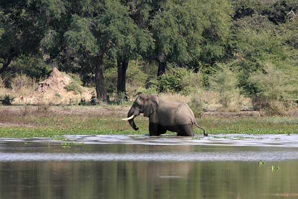 Elephant wading in river shallows