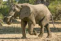 Elephant carrying log in trunk
