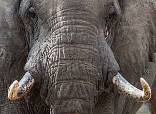 Elephant bull close-up