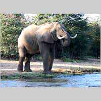elephant drinking from river
